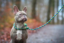 Beautiful Rare Colored Lilac Brindle Female French Bulldog Dog With Light Amber Eyes And Plaited Collar And Leash