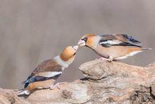 Hawfinch (Coccothraustes Coccothraustes) Kissing