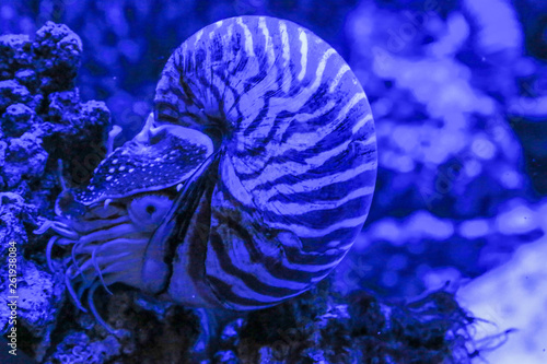 Fotografie, Obraz  Nautilus Pompilius clam sits on a coral. Photo in blue