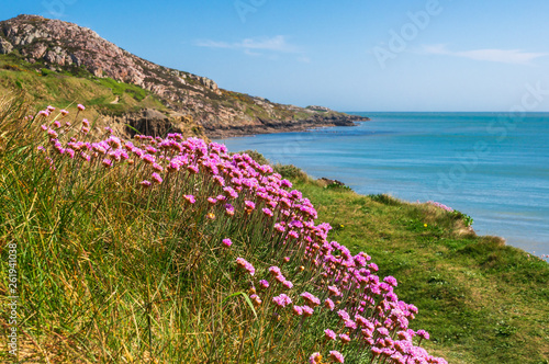 Fotografiet Delicate pink sea thrift, Armeria maritima, growing on the Irish East Coast in a beautiful landscape of green grass, rocky cliffs and turquoise water