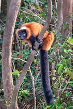Red Ruffed Lemur, Varecia Rubr...