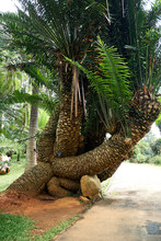 Old Palm In Royal Park Of Pera...