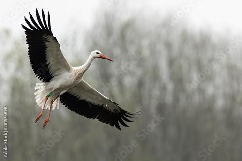Obraz na płótnie White stork in the rain
