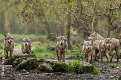 Cadres-photo bureau Hyène Grey Wolf in the rain