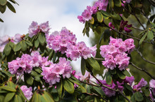 Blooming Rhododendron Bush Flowers In A Botanical Garden