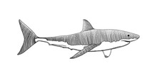 Great White Shark Hand Drawing Vintage Engraving Illustration