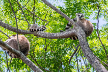 Ring-tailed Lemur, Lemur Catta...