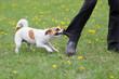 canvas print picture - Jack Russel Terrier beißt in ein Hosenbein und lässt nicht mehr los