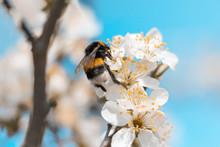 A Large Bee / Bubmlebee Pollin...