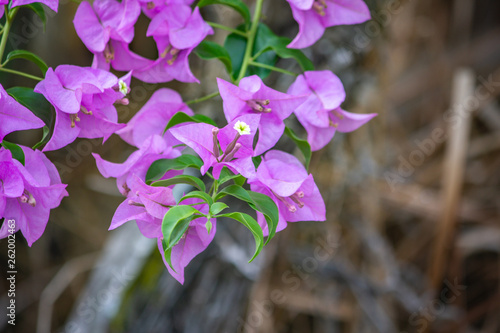 Photo Close up of Bougainvillea glabra, and its flower head, so called for the papery bracts