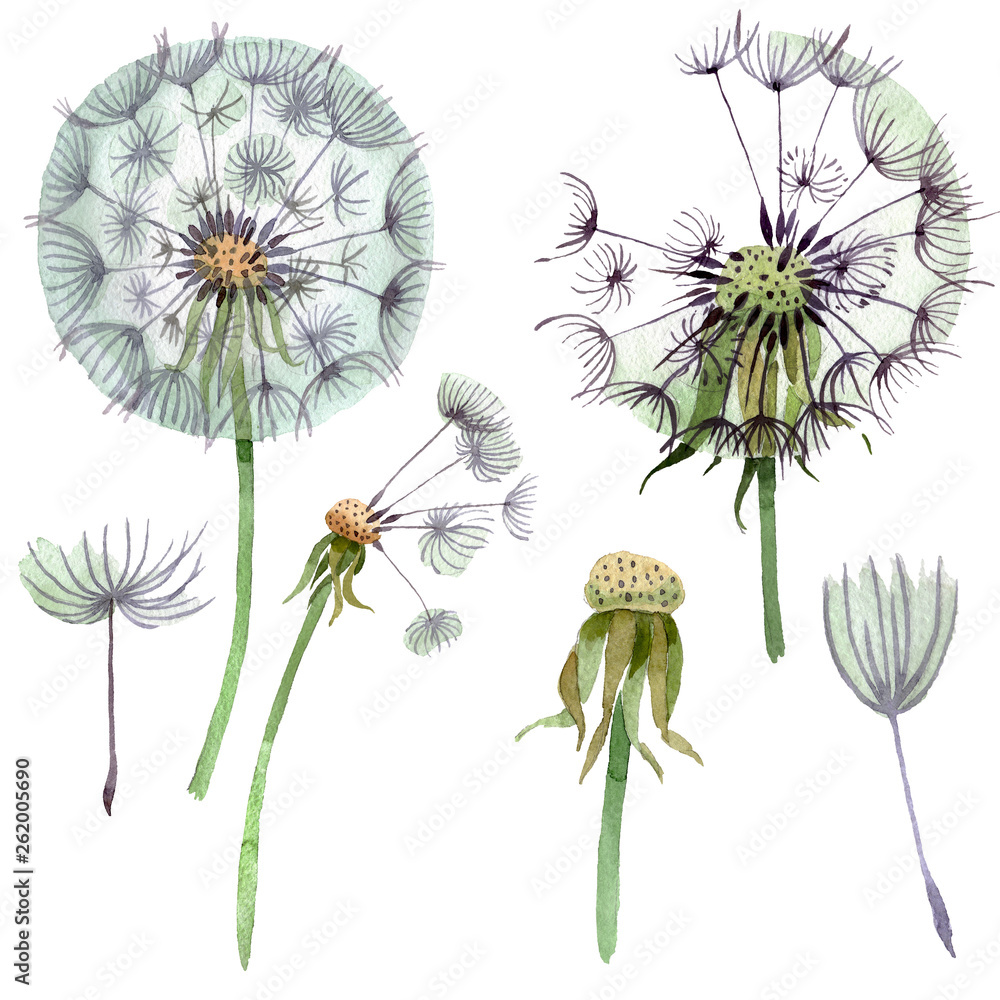Fototapety, obrazy: Dandelion blowball with seeds. Watercolor background illustration set. Isolated plant illustration element.