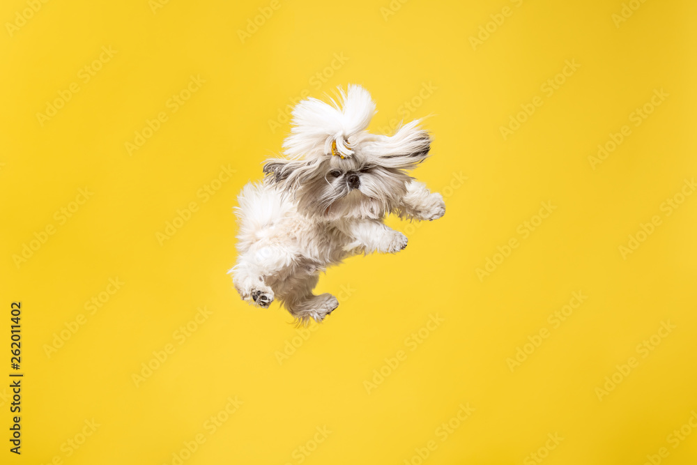 Fototapety, obrazy: Shih-tzu puppy wearing orange bow. Cute doggy or pet is jumping isolated on yellow background. The Chrysanthemum Dog. Negative space to insert your text or image.