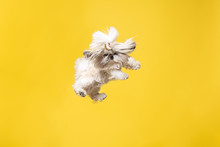 Shih-tzu Puppy Wearing Orange Bow. Cute Doggy Or Pet Is Jumping Isolated On Yellow Background. The Chrysanthemum Dog. Negative Space To Insert Your Text Or Image.