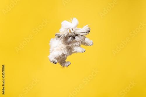 Fotografía  Shih-tzu puppy wearing orange bow