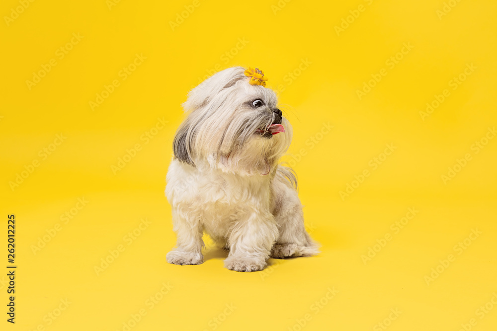 Fototapety, obrazy: Shih-tzu puppy wearing orange bow. Cute doggy or pet is standing isolated on yellow background. The Chrysanthemum Dog. Negative space to insert your text or image.