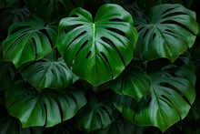 Large Green Monstera Leaves On...