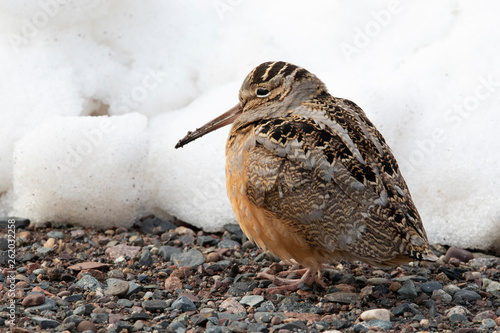 Woodcock Canvas Print