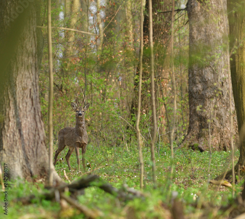 Foto op Canvas Ree Roe deer with antler walking and grazing grass inside the forest
