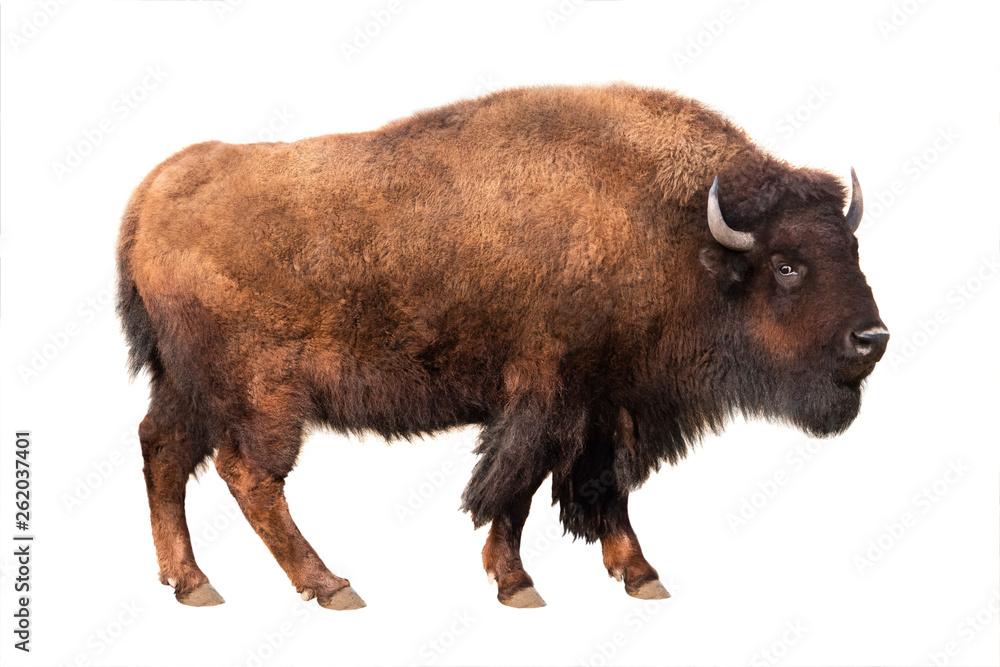 Fototapeta bison isolated on white