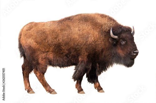 Photo sur Aluminium Buffalo bison isolated on white