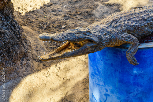 Poster Crocodile Dried scarecrow of young nile alligator