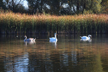 Swans Family Swimming Around T...