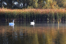 Beautiful Couple Of Swans Swim...