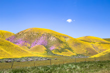 Yellow And Purple Wildflowers On Hills Of Carrizo Plains