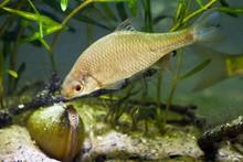 European Bitterling, Rhodeus Amarus, Beautiful Adult Male Fish Demonstrates Spawning Behaviour Near A Bivalve Mollusc In A Coldwater Temperate Freshwater Biotope Aquarium