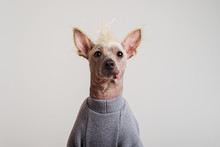 Close Up Portrait Of A Male Chinese Crested Dog On White Background