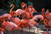 USA, Louisiana, Flamingos, Pho...