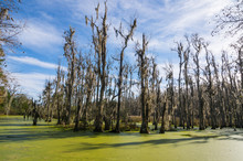 USA, South Carolina, Charleston, Dead Trees In The Swamps Of The Magnolia Plantation