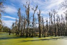 USA, South Carolina, Charleston, Dead Trees In The Swamps Of The Magnolia Plantation