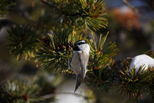 Chickadee Pecking Pine Cone, Firehole Canyon, USA