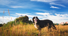 Side View Bernese Mountain Dog In The Yellow Field And Blue Sky.