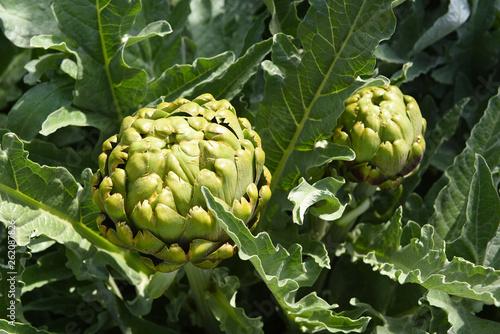 Fotografie, Obraz  Fresh Homegrown Artichokes on the plant