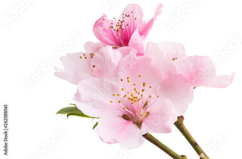 sakura flower isolated