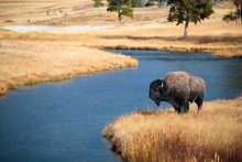 Bison Near Nez Perce Creek On ...