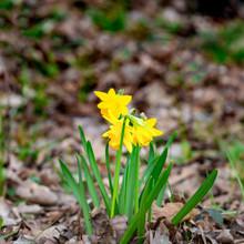 Ein Frühlingsbote - Die Narzisse