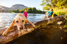 Yellow Lab Climbing On Log In Deschutes River In Oregon, USA