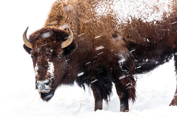 Bison standing in snow in Y...