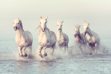 Piękne białe konie biegną galopem w wodzie przy miękkim świetle zachodzącego słońca, vintage image, park narodowy Camargue, departament Bouches-du-rhone, Prowansja - Alpy - region Lazurowe Wybrzeże, południowa Francja - 262092831