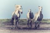 Piękne białe konie biegną galopem przy miękkim świetle zachodzącego słońca, vintage image, park narodowy Camargue, departament Bouches-du-rhone, Prowansja - Alpy - region Lazurowe Wybrzeże, południowa Francja - 262092860