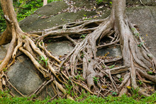 The Roots Of A Perennial Tree Entwine The Stone