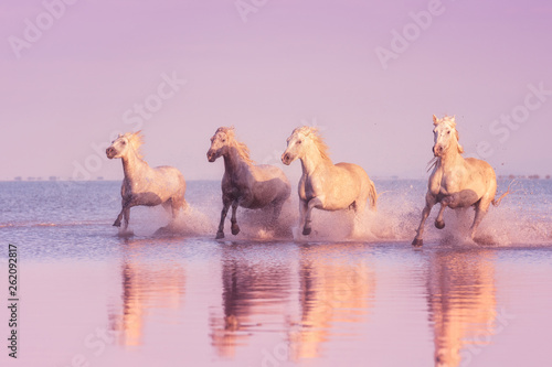 Photo  Beautiful white horses run gallop in the water at soft sunset light, National pa
