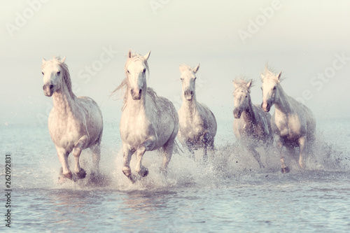 Obraz na płótnie Beautiful white horses run gallop in the water at soft sunset light, vintage ima