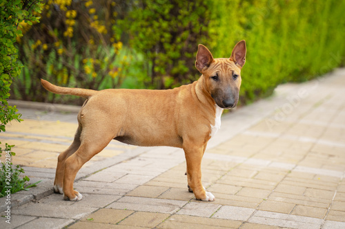 Fotografia Cute red miniature bull terrier puppy posing outdoors in the park