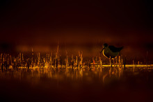 Sunset Nature And Bird. Sunset Nature Background. Common Water Bird.