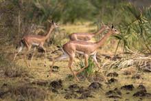 Female Gerenuk Running. Enviro...