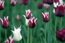 Dark Red And White Tulips